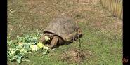 Knoxville Zoo Tortoise