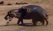 MATG Hippo