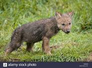Northwestern wolf pup