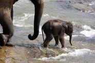 Two Asian Elephants