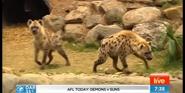 Canberra Zoo Hyenas