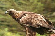 Eagle, American Golden