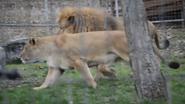 Utica Zoo Lioness (V2)