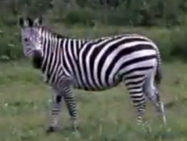 Wilstem Ranch Zebra