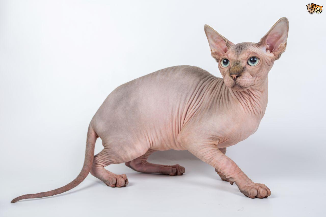Sphynx Munchkin Cat For Sale