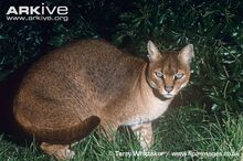 African-golden-cat-female