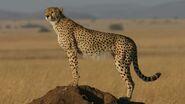 Cheetah, Tanzanian