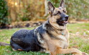 German-shepherd-dog0image