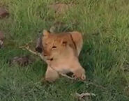HugoSafari - Lion09