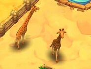 Reticulated-giraffe-zoo-2-animal-park