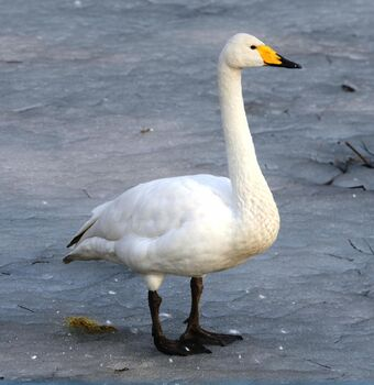 the-Whooper-Swan-specie