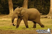 Elephant, African Forest