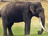Mainland Asian Elephant