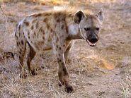 Hyena-knp01-g