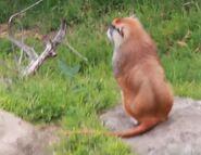 Patas monkey san francisco zoo