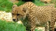 Pittsburgh Zoo Cheetah (V2)