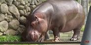 San Fransisco Zoo Hippo