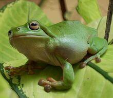 Treefrog katherine nt