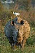 Egret on Rhino