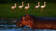 Hippos and Flamingos