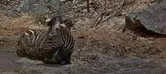 Swiss Family Robinson Zebra