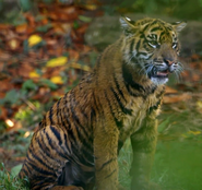 TSLoTZ Tiger