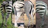 Zebra Stripe Butts