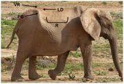 Elephant's Anatomy
