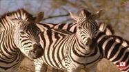Elephant Tales Zebras