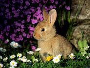 European-Rabbit-2