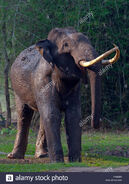 Male Asian Elephant Covered in the Mud