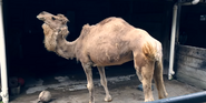 Pittsburgh Zoo Camel