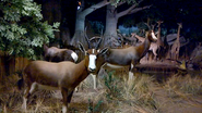 Rolling Hills Zoo Bonteboks