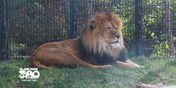 Blank Park Zoo Lion