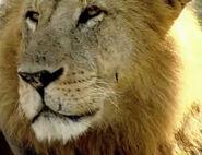 HugoSafari - Lion01