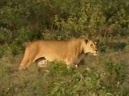 HugoSafari - Lion18