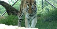 Louisville Zoo Siberian Tiger