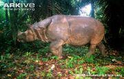 Rhinoceros, Javan
