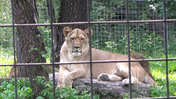 Utica Zoo Lioness