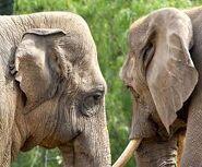African Elephants Woolly Mammoths Asian Elephants
