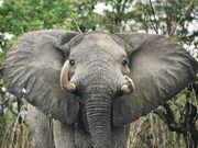 Elephant Watcher