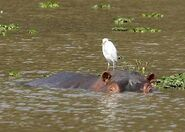 Hippo with Egret on Head