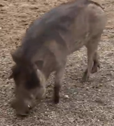 Memphis Zoo Warthog