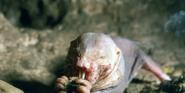 Singapore Zoo Mole Rat