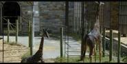 Smithsonian Zoo Giraffes