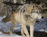 Canis lupus occidentalus