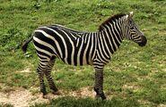 EquusQuaggaBoehmiZoo