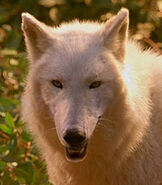 Wolf-male-dr-dolittle-2-2.19