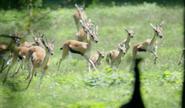 Bronyx Zoo Gazelles