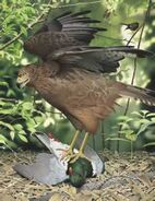 Eyles' harrier